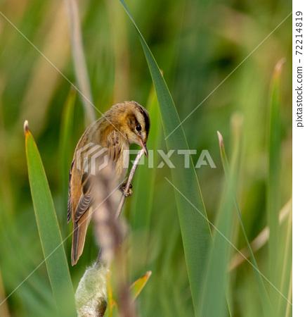 Sedge warbler (Acrocephalus schoenobaenus) on reed 72214819