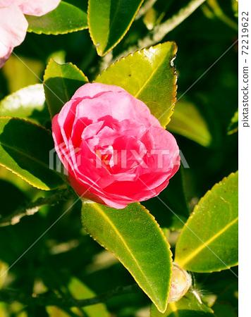 Beautiful sasanqua (sasanqua) (natural texture) 72219622