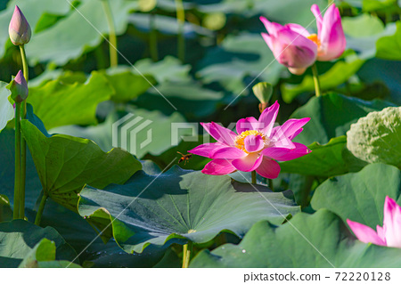 Lovely blooming pink lotus flower pond at tropical countryside 72220128
