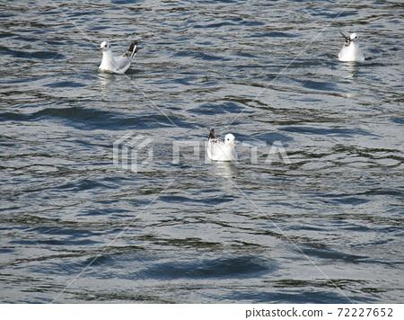 하나 미가와 하구 수영 겨울 철새 유리카모메 72227652