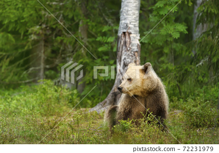 Close up of Eurasian Brown bear sitting by a tree in forest 72231979