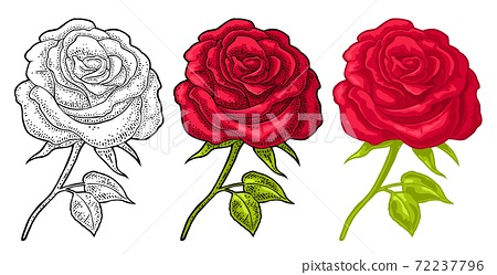 Rose flower with leaf. Color engraving vintage illustration on white 72237796