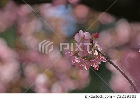 Kawazu cherry tree 72239383
