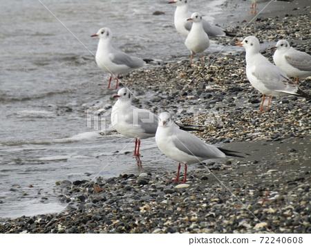 検見川 바닷가 모래 사장에서 날개를 쉴 겨울 철새 유리카모메 72240608
