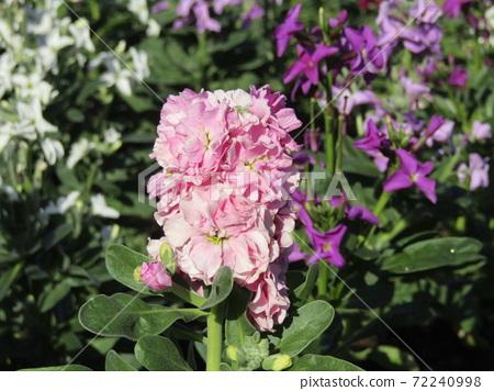 만추의 보소의 대표 꽃 스톡 분홍색의 꽃 72240998