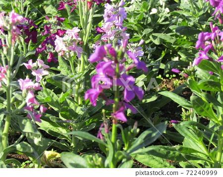 만추의 보소의 대표 꽃 스톡 보라색 꽃 72240999