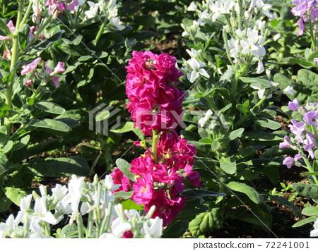 만추의 보소의 대표 꽃 스톡 흰색과 분홍색과 붉은 꽃 72241001