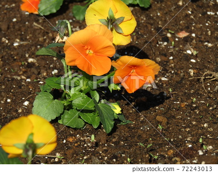 화기의 오랜 노란색 비올라 꽃 72243013