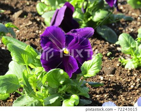 화기의 오랜 보라색 비올라 꽃 72243015