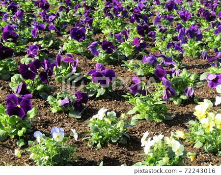 화기의 오랜 보라색과 노란색 비올라 꽃 72243016