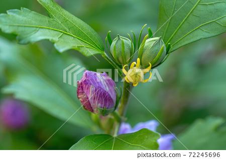 beautiful violet hibiscus in garden 72245696