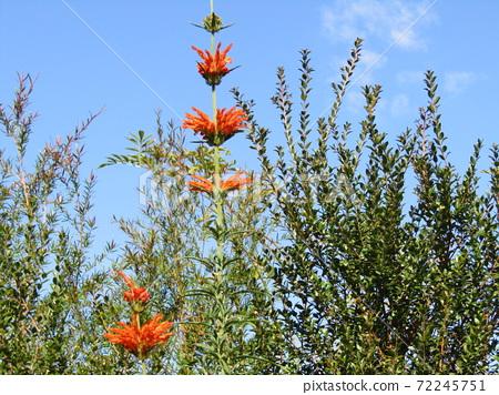 꽃잎에 털이면을 입은 거지 카엔키세와타 오렌지 꽃 72245751
