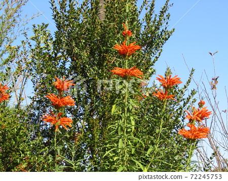 꽃잎에 털이면을 입은 거지 카엔키세와타 오렌지 꽃 72245753