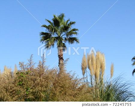 이나 게 해변 공원의 빤빠스구라스 야자수 72245755