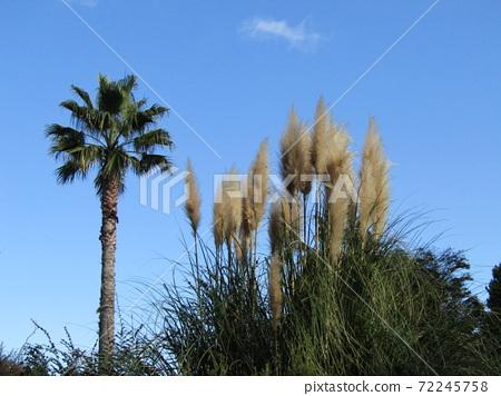 이나 게 해변 공원의 빤빠스구라스 야자수 72245758