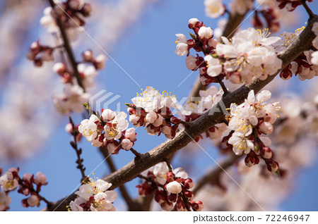 A branch of blooming apricots with bees collecting pollen. Against the background of blue sky. 72246947