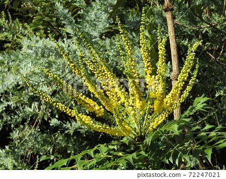 세엽 히이라기난텐이라고도 마호니아 노란 꽃 72247021
