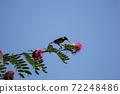 Bird on tree of Pink flower Powder Puff 72248486