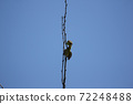 Bird on tree of Pink flower Powder Puff 72248488