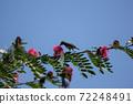 Bird on tree of Pink flower Powder Puff 72248491