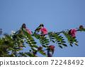 Bird on tree of Pink flower Powder Puff 72248492