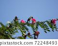 Bird on tree of Pink flower Powder Puff 72248493