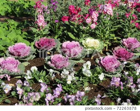 삼양 메데아 꽃 박물관 앞마당 비올라와 스톡과 하 보탄 72263878