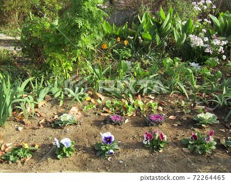 코지마 꽃의 모임 꽃밭에서 순조롭게 성장 팬지 72264465