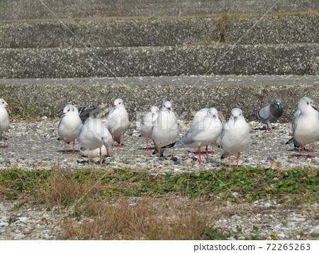 検見川 바닷가 계단에서 쉬고있는 겨울 철새 유리카모메 72265263