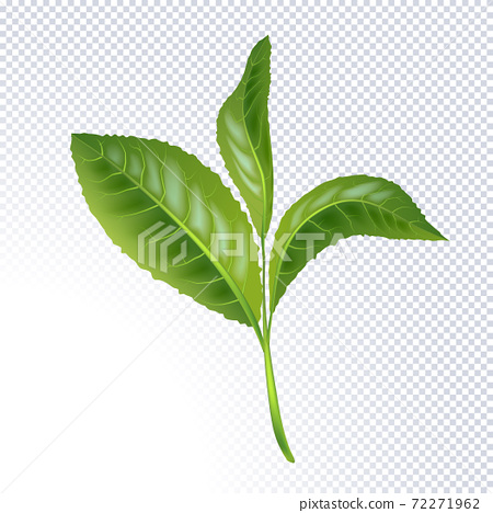 Realistic green tea leaves isolated on white background. The Premium green tea for good health. Element for design, advertising, packaging products. Tea Foliage Branch. Vector illustration 72271962