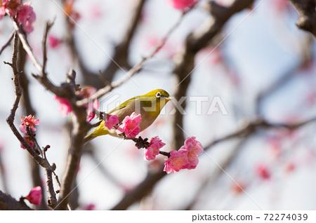 Sakura and mezzo 72274039