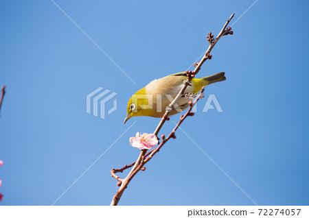 Sakura and mezzo 72274057