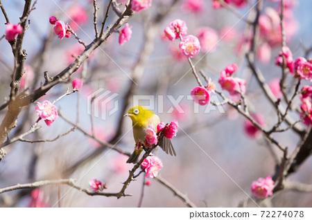 Sakura and mezzo 72274078