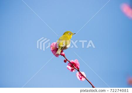 Sakura and mezzo 72274081