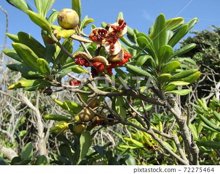 열매가 갈라지고 붉은 점액이 달린 씨가 얼굴을 내밀었다 돈나무 열매 72275464