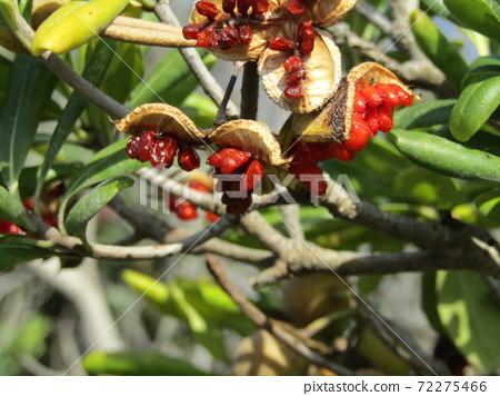 열매가 갈라지고 붉은 점액이 달린 씨가 얼굴을 내밀었다 돈나무 열매 72275466