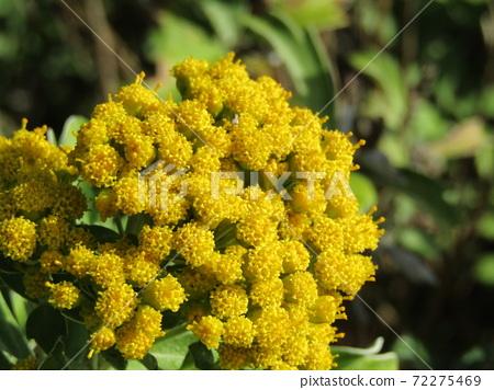 색깔 있고 꽃은 해안 꽃 이소기쿠 꽃 72275469