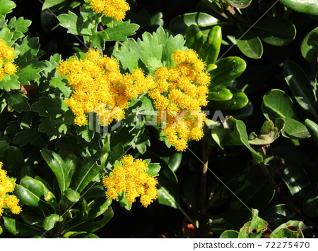 색깔 있고 꽃은 해안 꽃 이소기쿠 꽃 72275470