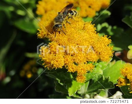 색깔 있고 꽃은 해안 꽃 이소기쿠 꽃 72275471