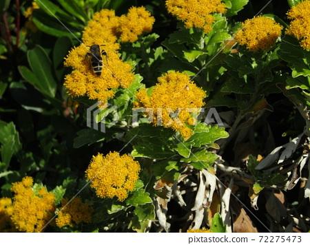 색깔 있고 꽃은 해안 꽃 이소기쿠 꽃 72275473