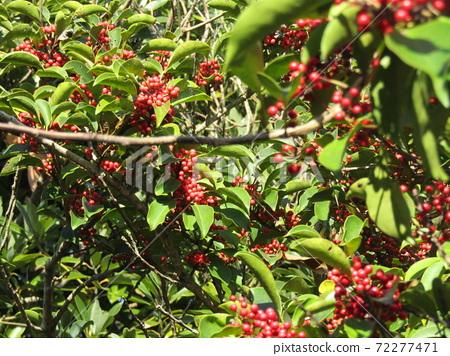 새빨간 열매를 붙인 먼나무 72277471