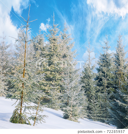 spruce forest on a misty morning. beautiful landscape in winter. misty weather with bright sky. hillside covered in snow 72285937