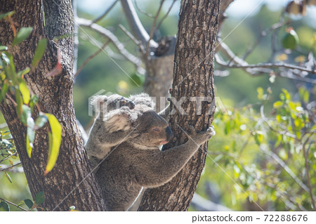 Wild koala parent and child 72288676