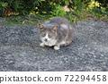 회색 고양이 72294458