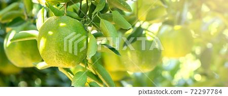 橘子 果園 橘子樹 自然 Tangerine tree orange garden 蜜柑 みかん 72297784