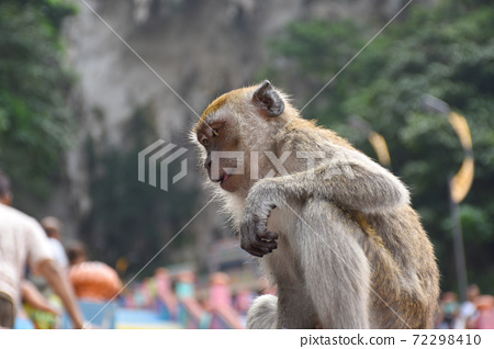 Crab eating macaque, Macaca fascicularis, also known as the long-tailed macaque, monkey 72298410