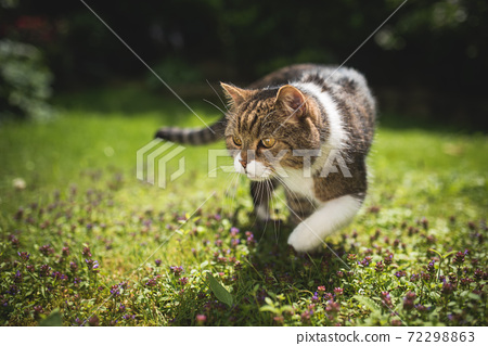 curious cat walking on lawn in summer 72298863