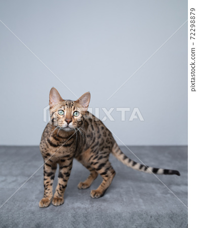 young bengal cat portrait with copy space 72298879