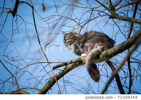 maine coon cat climbin a bare tree on blue sky background 72309344