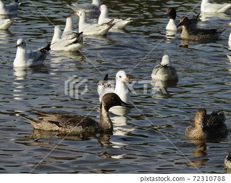 이나 게 해변 공원의 연못에 온 겨울 철새 유리카모메와 고방 오리 72310788
